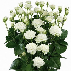 «Розы кустовые» Просто кустовые розы.Приятный подарок по любому случаю.Радуйте любимых и близких , заказывая эти трогательные цветы.Цвет вы можете указать в комментариях к заказу. Доставка в Мингрельскую.